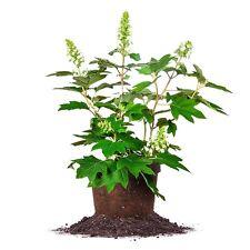 Oakleaf Hydrangea Size: 3 Gallon