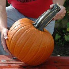Wolf Pumpkin Seeds 50 Seeds Large Stem Pumpkin BULK SEEDS