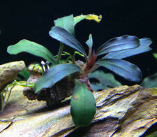 "Bucephalandra "" Brownie Blue "" RARE Aquatic Plant"