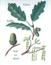 IMAGE CARD 60s Chêne Quercus Oak Feuille Leaf Fruit Gland Acorn Chatons Kittens