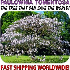 Kiri, Princess, Empress or Foxglove Tree - 25 Fresh Paulownia Tomentosa Seeds!