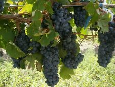 100- CONCORD GRAPE SEEDS, organic grown in the U.S.  we only ship to the U.S