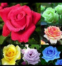 Lot de 6 x 5 graines rosier differents coloris