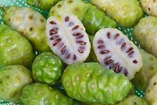 Noni, Indian Mulberry, Cheese Fruit,(10 Seeds )Great For The Body And Mind