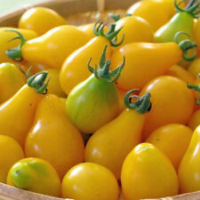 TOMATO Yellow Pear Heirloom Seeds (V 295)