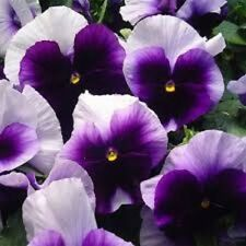 35+ Pansy Swiss Giant Ullswater Beaconsfield / Perennial Flower Seeds