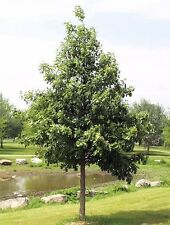 Swamp White Oak Tree Quercus bicolor Heavy Established Roots 1 Gallon Trade Pot