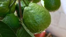 Giant red sweet guava fruit 10 finest seeds