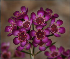 Geraldton Wax Seed Excellent Purple Cut Flower Long Vase Life Drought Tolerant