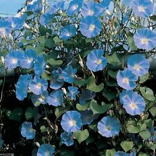 100 Morning Glory Seeds - Heavenly Blue -Ipomoea Tricolor - Most popular variety