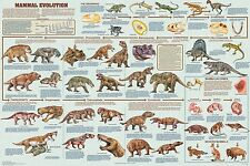 (LAMINATED) MAMMAL EVOLUTION POSTER (61x91cm) EDUCATIONAL WALL CHART NEW