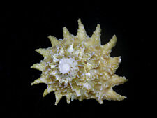 Formosa/shells/Astraea phoebia 51.8*49mm.