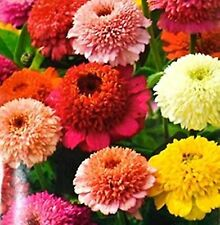 Flower Seeds Giant Zinnia Skabiozotsvetnaya Smes  Annual Flowers Seed Mix
