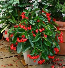 Begonia DRAGON WING RED, Live Plants Plugs