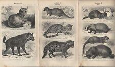 Lithografie 1909: Raubtiere I bis VI. Zobel Dachs Fuchs Wolf Tiger Luchs Hyäne