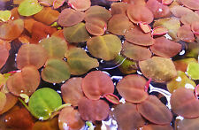 20+ Amazon Frogbit Red Root Flooters Floating Pond/Aquarium Plants Package Java