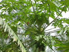 15 semillas de Papaya (Carica papaya) seeds