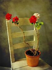 VINTAGE GERANIUM RED WHITE FLOWER CHAIR PHOTO ART PRINT POSTER PICTURE BMP1194A