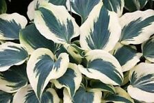 HOSTA PLANT FIRM LINE 2YEAR  BUY ANY 5 GET 1 FREE