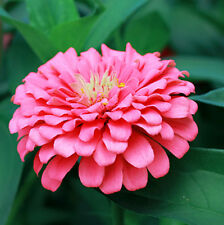 Pink Youth-and-old-age Seed 50 Seeds Zinnia Elegans Flower Garden Seeds Hot A014