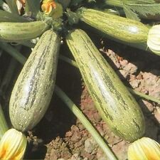 ZUCCHINI CASERTA 15 SEEDS A DELICIOUS ITALIAN SQUASH RAW, GRILLED OR SAUTEED