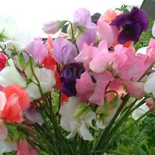 110Pcs Flower Seeds Sweet Pea Mammoth Mix Color Beautiful Plant Garden Decor