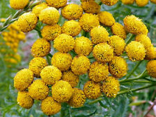 100 YELLOW TANSY Double Golden Buttons Fern Leaf Tanacetum Vulgare Flower Seeds
