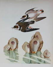 vintage print Semipalmated Plover by Menaboni