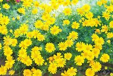 200 Dahlberg Daisy Seeds (Thymophylla Tenuiloba Gold Carpet) Thrives on Neglect!