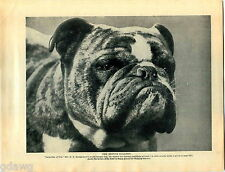 1930 Book Plate Print Dog Bulldog British Jasperdin Din Dock Leaf Guido Lordship