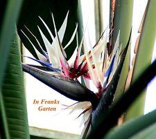 Strelitzia nicolai @ Weiße Paradiesvogelblume !! @ Strelitzie @ 30 Samen
