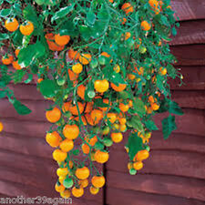 TUMBLING TOM YELLOW TOMATO 25 SEED CASCADES OF TINY CHERRY TOMATOES HANGING DOWN