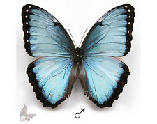 Morpho peleides-Male,UNMOUNTED butterfly