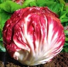 20 Seeds - Red cabbage chicory seeds selling health vegetable Good Germination