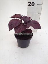 Plantas de Perilla Frutescens - Shiso - Albahaca Chino ROJO