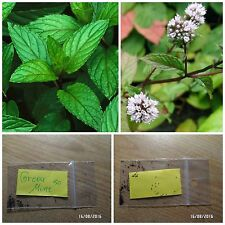 Greek Mint - Peppermint ~50 Top Quality Seeds - Perennial Herb - Extra Aromatic
