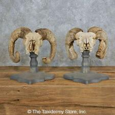 #14996 N+ | Corsican Ram Skull European Taxidermy Mount Pair For Sale
