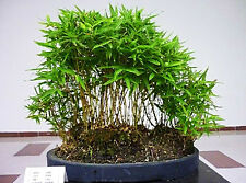 BAMBOO TREE - 30 BONSAI SEEDS  - Phyllostachys pubescens - SOW ALL YEAR FREE P&P