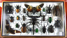Real Butterfly Insect Bug Taxidermy Display Wooden Framed Box Big Set FS gphsy 5