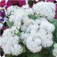 50+ PURE WHITE AGERATUM  FLOWER SEEDS