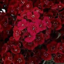Dianthus- Dunetti- 200 Seeds - 50 % off sale