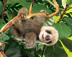 BABY SLOTH HAND PUPPET 2927 ~ Adorable ~ Free Ship/USA ~ Folkmanis Puppets