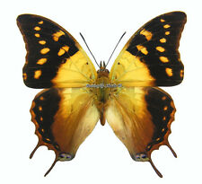 Unmounted Butterfly/Nymphalidae - Charaxes antamboulou, male, Madagascar, A1/A-
