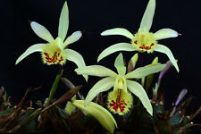 (1) Pleione x confusa, Near Blooming Size Orchid