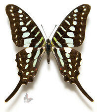 Graphium policenes,MIX A1/A-,Unmounted butterfly