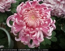 Colorful Chrysanthemum seed  24 kinds balcony home garden 30 seeds NO.9
