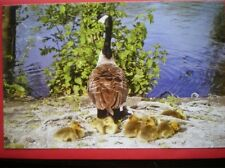 POSTCARD ANIMALS CANADA GOOSE & GOSLINGS KINGS POND ALTON