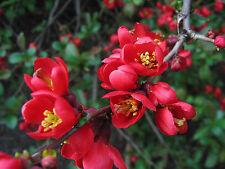 (20) Japanese Flowering Quince Seeds - Chaenomeles japonica -  Combined S&H