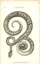1802 Royal Boa Engraved Amphibia Plate - Shaw