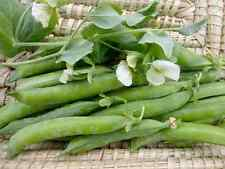 2017 Green Arrow Shell Seed Pea 1/4 lb  approximately 400 seeds